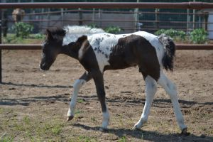 Pony Foal 2 by PhotographyAndGoats