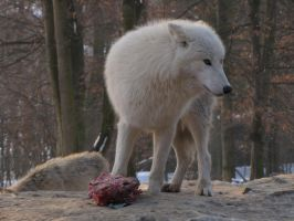 North American Arctic Wolf 113 by animalphotos