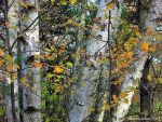 White Birch with Fall Leaves by VisionsSeen
