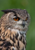 Eagle Owl Portrait by mansaards