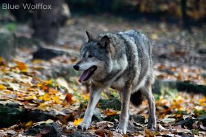 Greywolf VIII by VitaniFox85