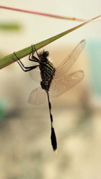 Dragonfly by annax69
