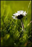 041-365 All-A-Daisy by mr-MINTJAM