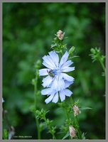 Wild Chickory with green bee by Mogrianne
