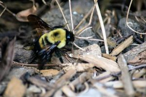 Bumble Bee 2 by alyssvisuals