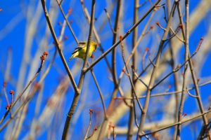 Yellow Bird. by Draculasbride01