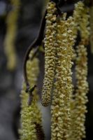 Catkins by Clangston