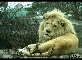 White Lion_1570 by MASOCHO