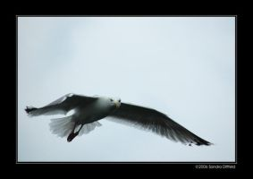 For all the gull lovers by grugster