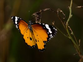 Basking Butterfly - I by InayatShah