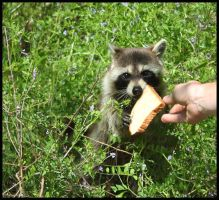 Feeding the Raccoon by SalemCat