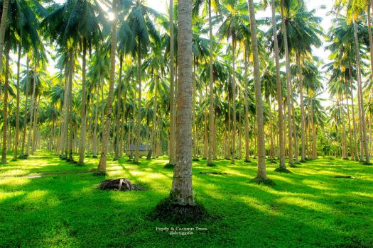 Papdy and Coconut Trees by giezkaluvorsky