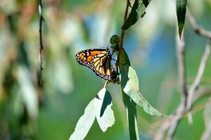 Monarch Butterfly by A-Sped-Kid