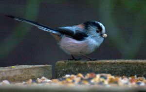 Long Tailed Tit - Just a mouthfull by Steve-FraserUK