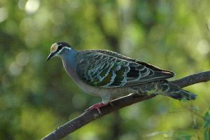 Common Bronzewing dove by Faunamelitensis