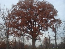 Giant Oak Tree by Autumn-and-Spring