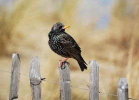 Starling by Interna
