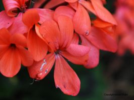 Red Flowers 2 by Shultzy