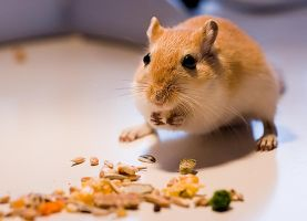 eat gerbil by msun