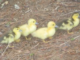 Baby Ducks! by Blackpantherwolf13