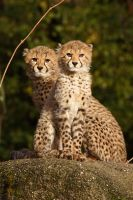 Cheetah 3 by swissnature