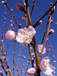 .stock: blossom 2. by guavon-stock