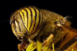 Hungry Hoverfly VI by dalantech