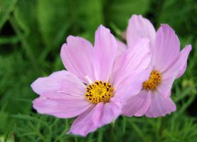 Two pink flowers by Cathorse