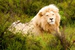 White Lion 02 by mynameis8523