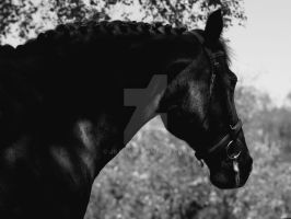 Horse in black and white by JillvJ