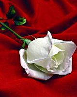 White Rose by nabilaa