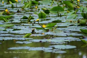 Yellow Water-lily. by Bermiro
