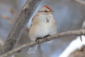 American Tree Sparrow by boogster11