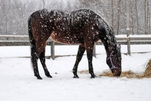 Horse in the snow 02 by LucieG-Stock