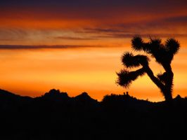 Joshua Tree Christmas 3 by Geotripper
