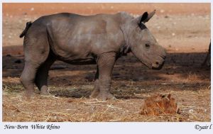 new born White Rhino by Yair-Leibovich