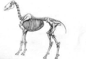 Horse Skeleton by Cirker