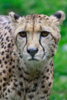 cheetah by GMCollins