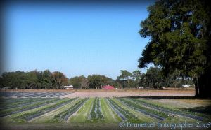 Farming in Florida by brunettephotographer
