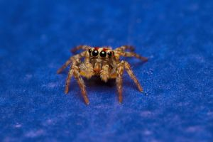 Kratos Jumping Spider by Anrico