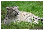 Baby Snow Leopard: Wonder II by TVD-Photography