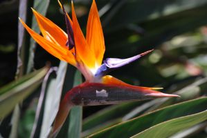 Bird of Paradise by Velendron