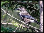 Spotted Nutcracker by RicSimane