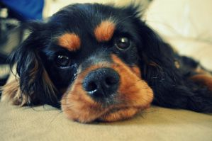 King Charles Spaniel by CaptureThisMemory
