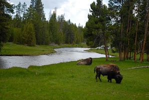 Bison and the river by MNgreen