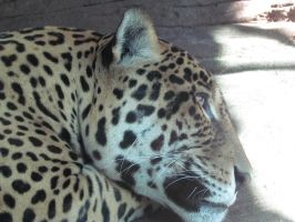 Jaguar in Thought by SubRosa-undertherose
