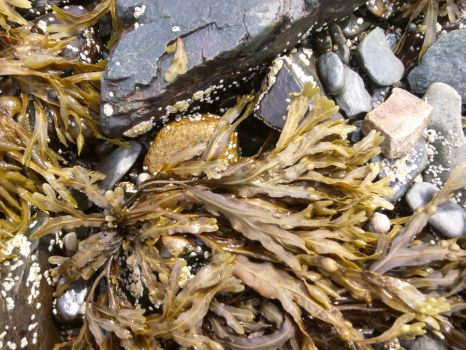 Seaweed and rocks on the Maine Beaches by Rocks-Girl