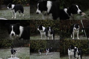 Collie Dogs 11 by Tasastock