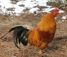 Roosters 03 by Pairastocks