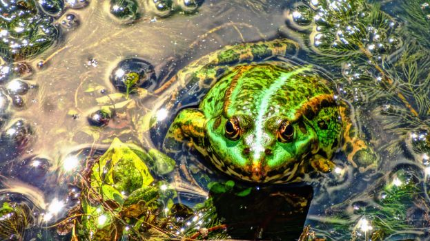 FROG by Marmozet